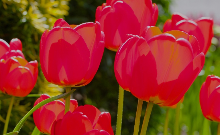 Red Tulips - Gloss