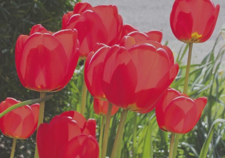 Red Tulips - Matt