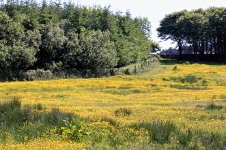 Buttercup meadow on the Rathbarry walk