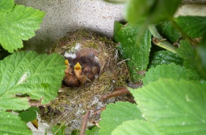 The young chicks of the Spotted Flycatcher stretch up for food