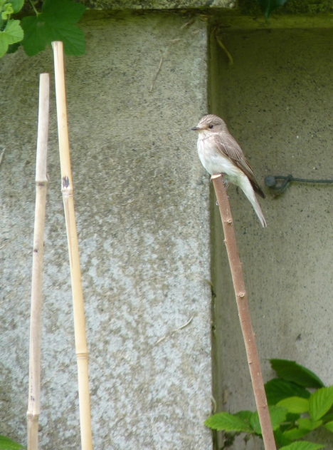 Spotted Flycatcher nears the nest