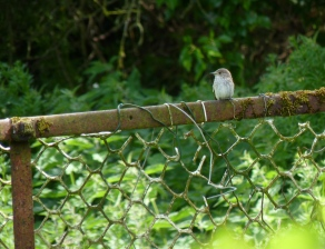 A spotted flycatcher takes a break during lunch
