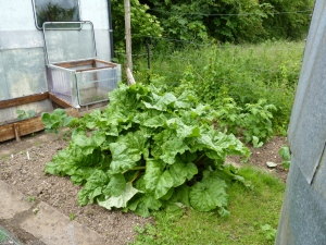 Behind the rhubarb the tomatoes are given their own little hothouse.