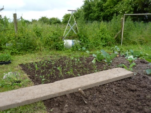 As the Kale is planted out, the advancing weeds look to engulf the roller.