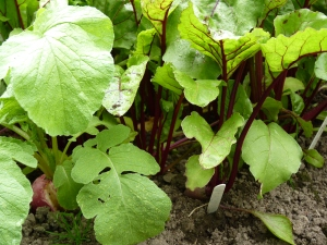 Beetroot thriving while slugs attack the radish.