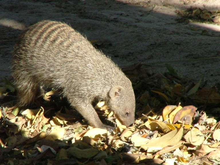 Striped Mongoose Foraging