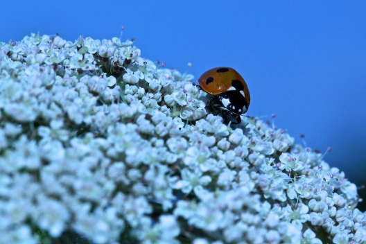 Ladybird on its Field of Flowers
