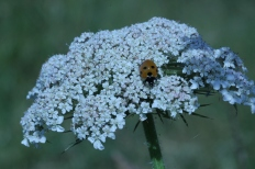 Ladybird on Hogweed