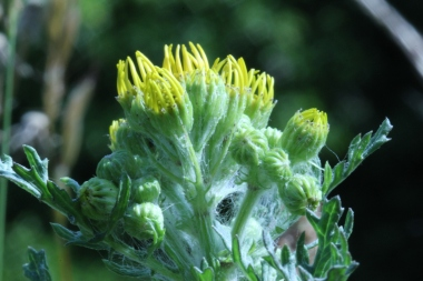 Ragwort coming to flower