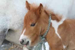 Fair Foal