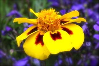 Marigold Flutter