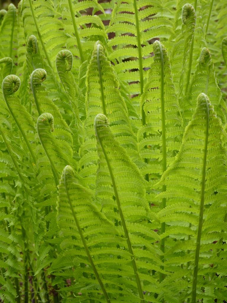 A Frenzy of Ferns