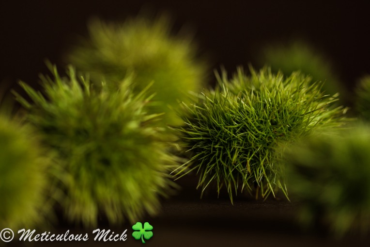 Masquerading as Green Sea-Urchins