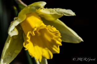 Yellow Trumpeter