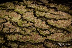 Bark of a Fallen Pine