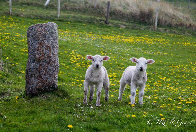 Lambs at Easter