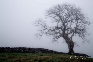 Sligo Fog Tree