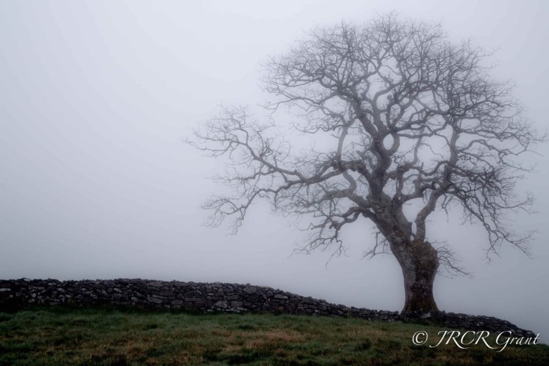Sligo Fog Tree