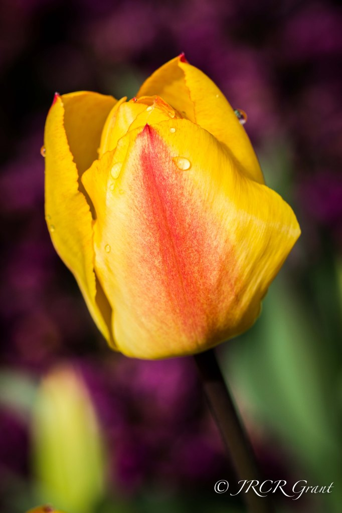 First of the Tulips