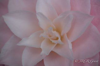 Delicate Pink