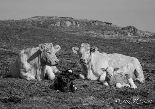 Donegal Calves