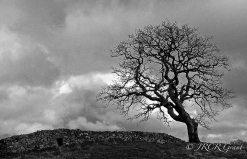 Sligo Tree and Wall