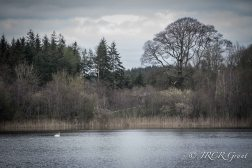 Swan Lake at Blarney