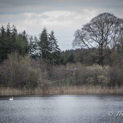 Swan Lake at Blarney