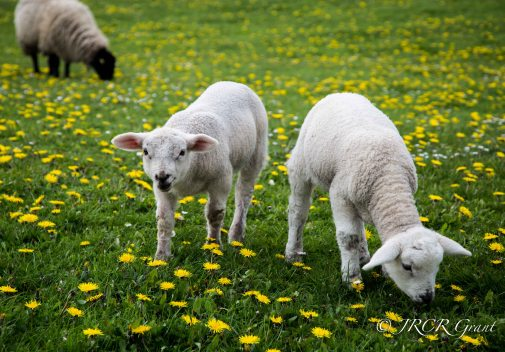 Flowers and Lambs