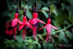 Ditch Fuchsia