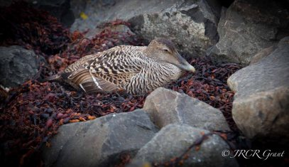 Birds of Flatey (2 of 12)