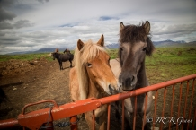 Two Icelandic Horses at Gate