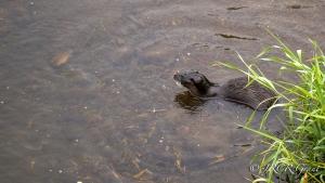 Otter awaits