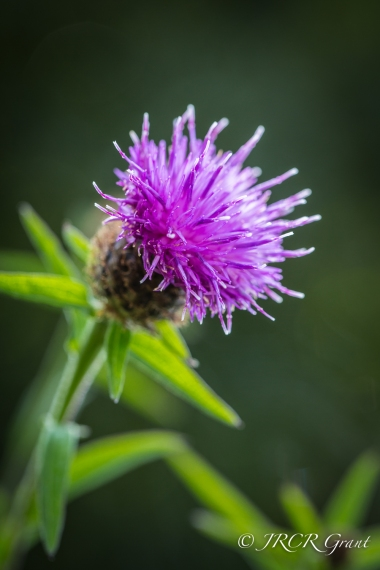 Emblematic Thistle