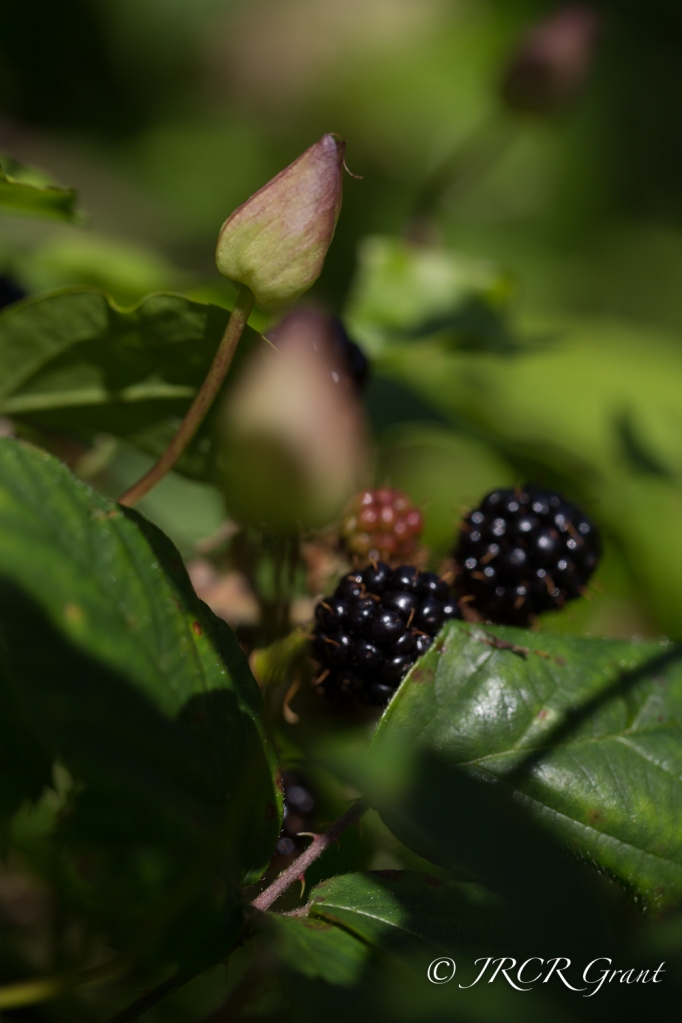 Fruit and Bud