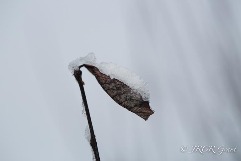 Leaf full of snow