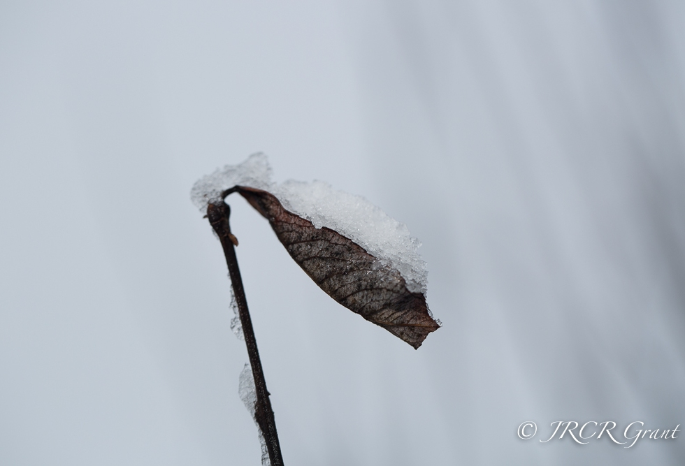 Leaf full of snow