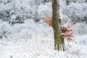 Beech tree in the snow