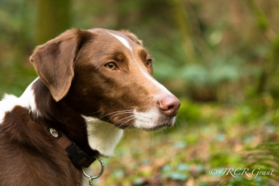 Portrait of a beautiful Hound dog in the woods
