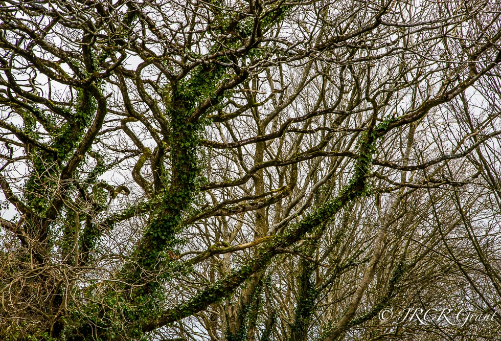 Trees with twisted boughs in a North Cork land