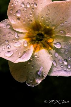 Primula up Close