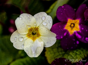 A pale primula becomes transparent with the weight of water