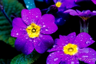 Purple Primula stand up to the rain