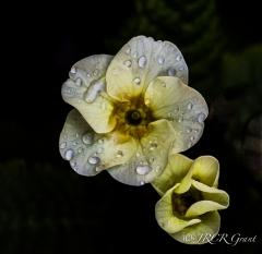 Primula unfurl their petals
