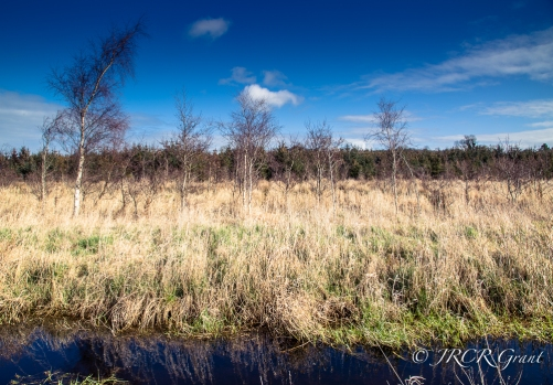 Cork Bog lined with silver Birches and firs