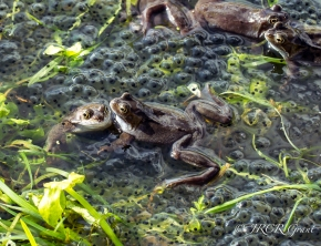 Frogs swim amongst spawn in a Cork Bog, Ireland