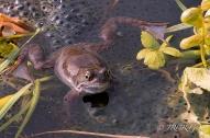 A frog lies amongst the spawn in an Irish Bog