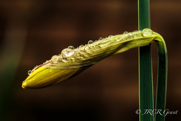 Daffodil bud bejewelled by the latest shower.