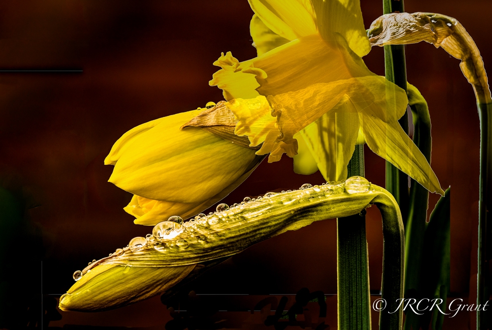 A composite image of the daffodil as it breaks out from bud into bloom