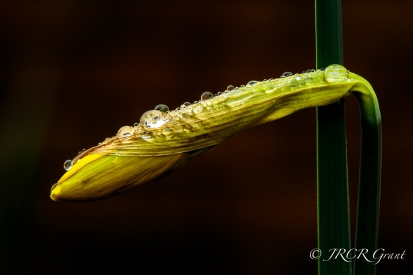 Daffodil bud laced with a rain shower